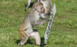 scimmiaribelle2