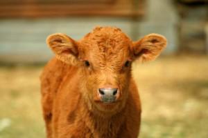 R-140237413-vitello