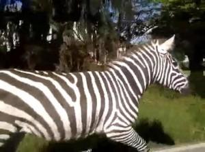 Due zebre fuggono da circo Togni, recuperate nel Reggiano