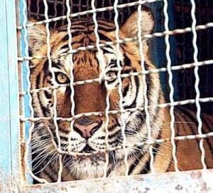 messico-tigre-uccide-il-suo-domatore-sara-ora-L-zN8wbD