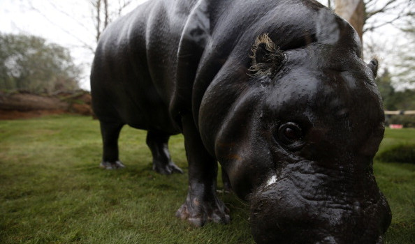 BRITAIN-ANIMAL-ZOO-HIPPO
