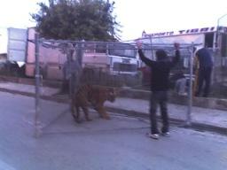 tigre10