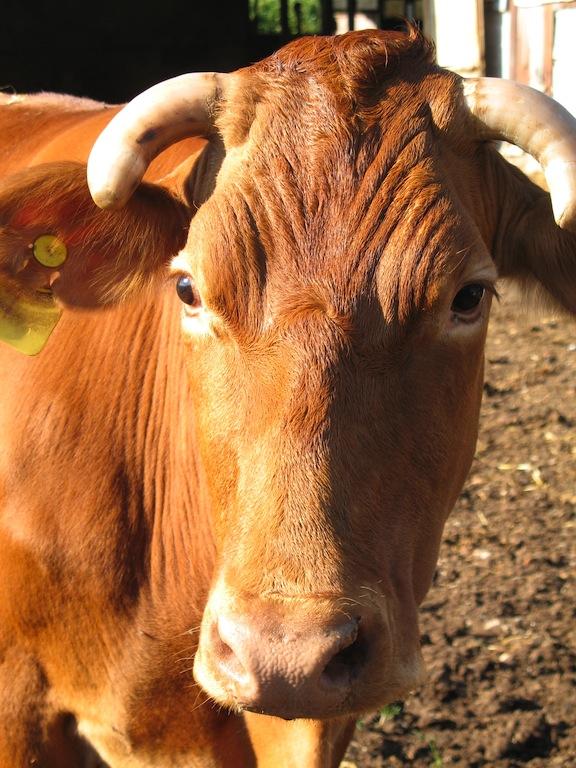 mucca rossa adulta
