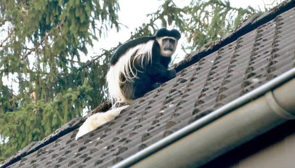 Germania,una scimmia fuggita da zoo sui tetti di Osnabrueck