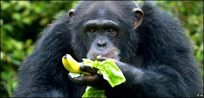 _42603729_chimp_416pa