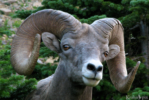 rocky-mountain-bighorn-sheep-photo-lord-1186245