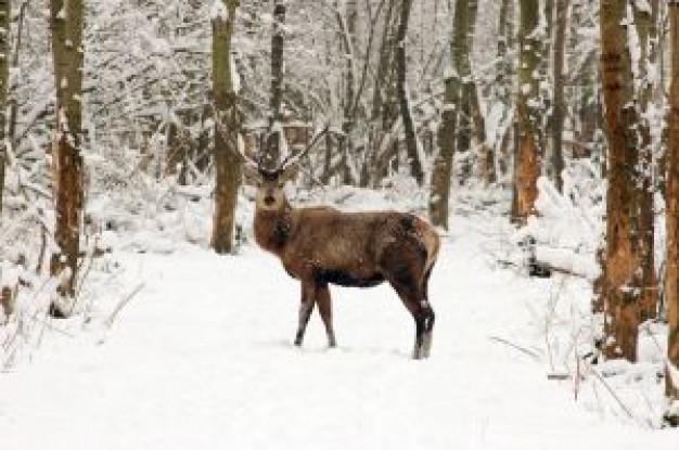 cervo-nella-neve_2659645