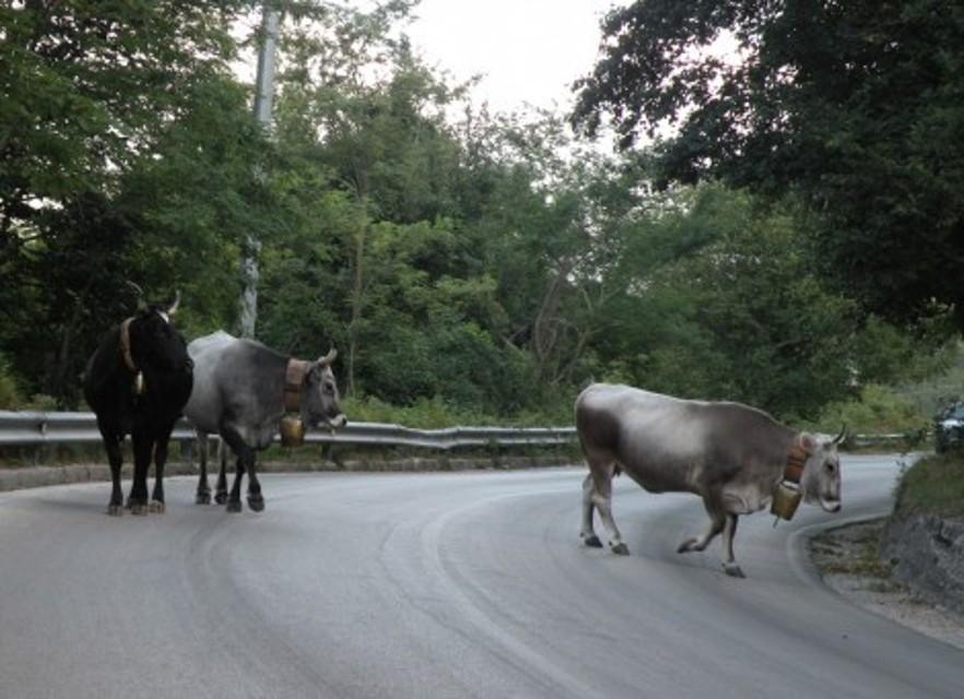mucche-sulla-strada-2