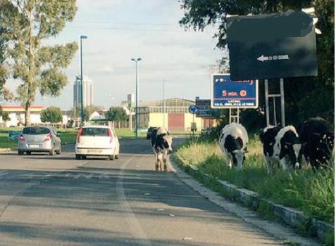 borgo_piave_mucche-477x350