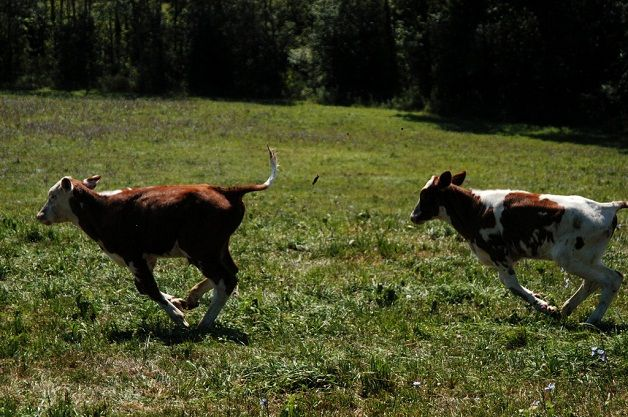 abbandono-animali-vitelli