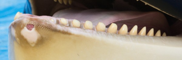 20131117-Morgans-teeth-jaws-crop-600x198