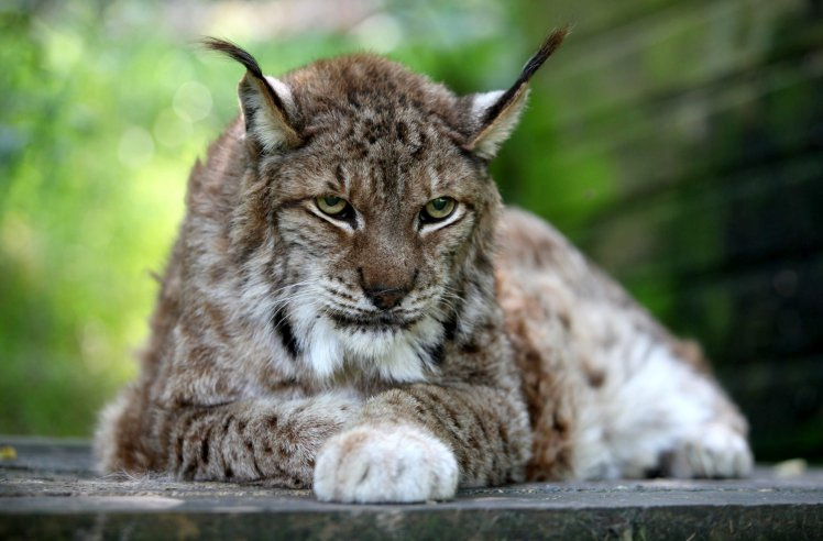 Stock picture of a lynx similar to the one that has escaped from Dartmoor Zoo, Devon. See SWNS story SWLYNX; A lynx is on the loose in the English countryside after digging its way out of its new zoo enclosure. The animal had only been delivered to Dartmoor Zoo near Plymouth, Devon, the night before it disappeared. Staff discovered it was missing when they checked to see how it was settling into its new home yesterday (Thur). Thirty staff and volunteers extensively searched the 33-acre zoo's grounds and concluded it had managed to escape.