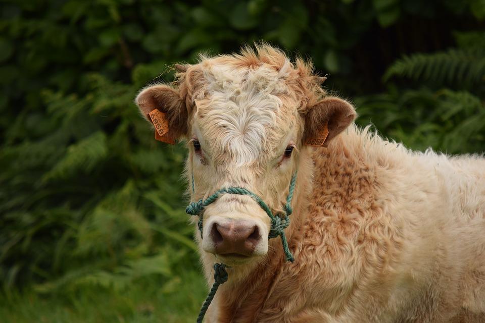 bull-1402616_960_720