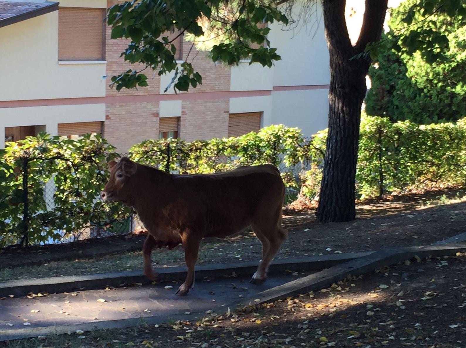 vitelli-girano-in-pieno-centro-a-sona-57fe01e3ea2174