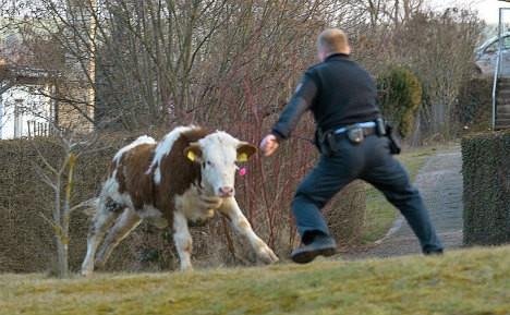 vaca-contra-poli